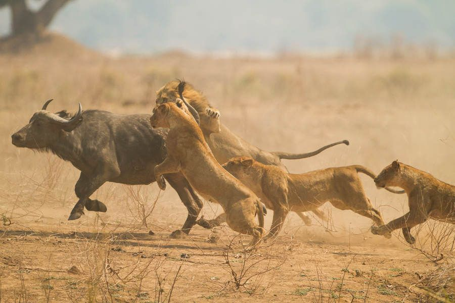 Zimbabwe: Walking with Lions