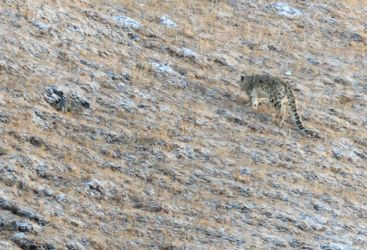 A Quest for the Snow Leopard in the Indian Himalayas