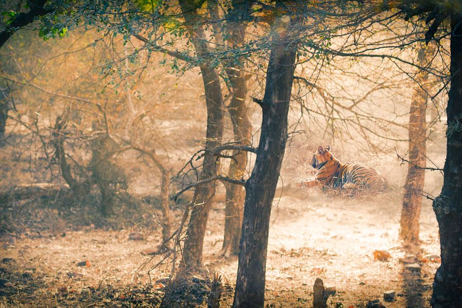 India: It's Tiger Time